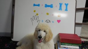 poodle by dry erase board