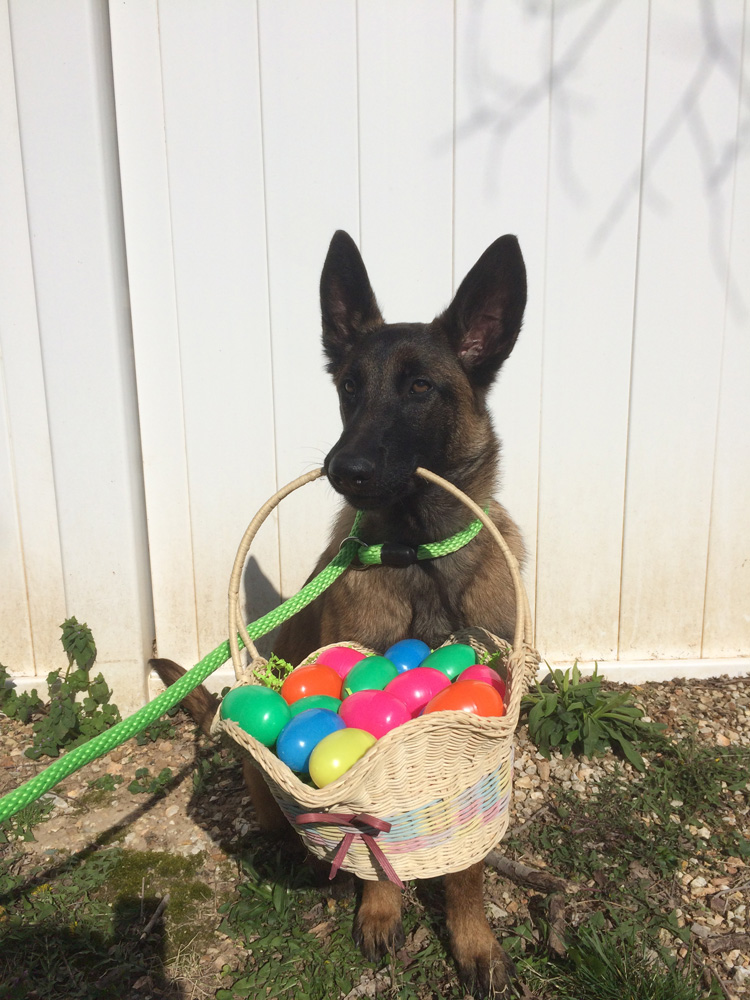 german sheppard holding Easter basket