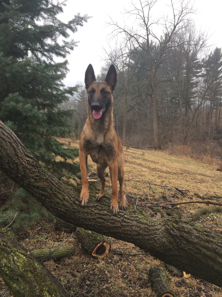 German Sheppard on tree trunk