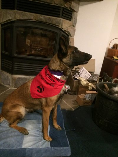 German Sheppard with red bandana