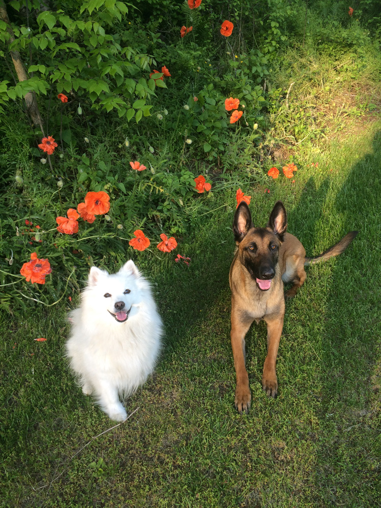 white dog & german sheppard dog