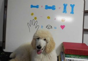 poodle with dry erase board