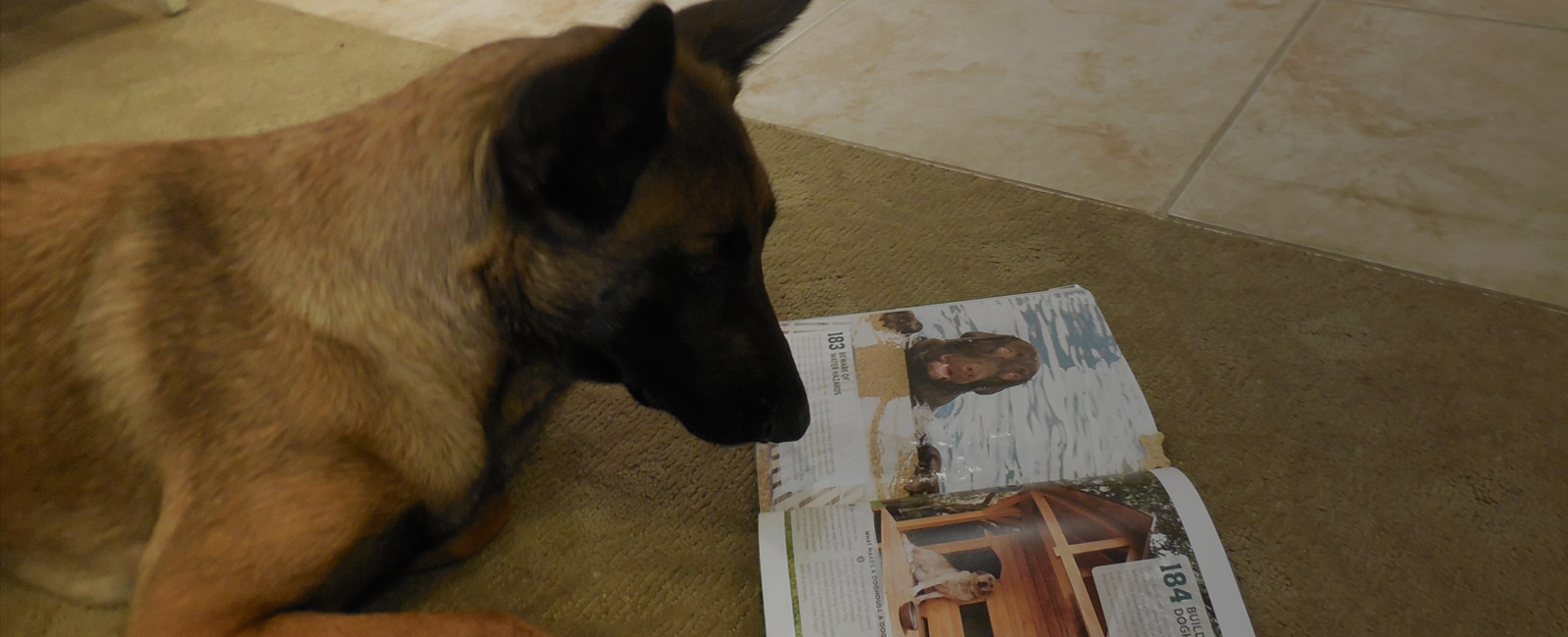german sheppard reading magazine